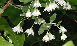 Deerberry Herb