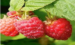 How to treat fibroid naturally with red raspberry