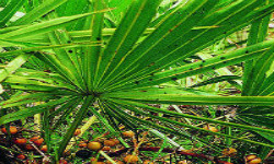 How to balance your hormones and get pregnant naturally with saw palmetto